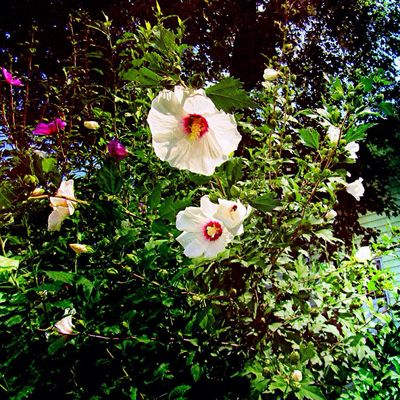 Good morning 🙋🏼 Hibiscus Flowering Plant Freshness Fragility Vulnerability  Beauty In Nature White Color Inflorescence Blossom Close-up