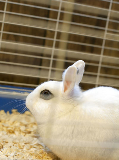 Close-up of white rabbit in cage