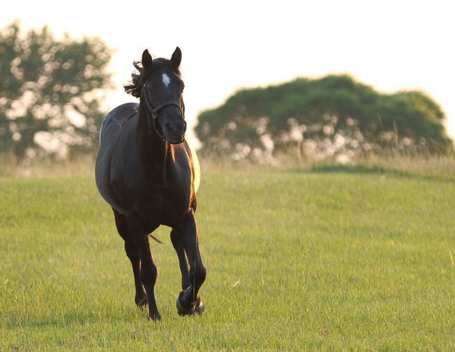 Saddle Horse Farming Horse Running Pets Agriculture Star Beauty In Nature