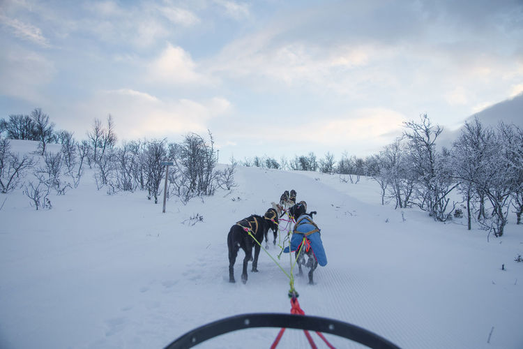 An exciting experience riding a dog sled in the winter landscape. Snowy forest and mountains with a dog team. Norway winter. Snow Cold Temperature Winter Dog Sled Dog Team Sport Pull Sled Race