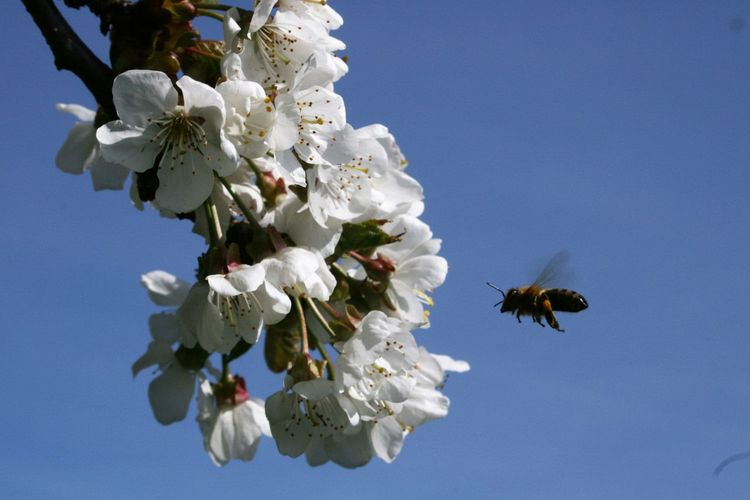 Honey bee flying to apricot tree