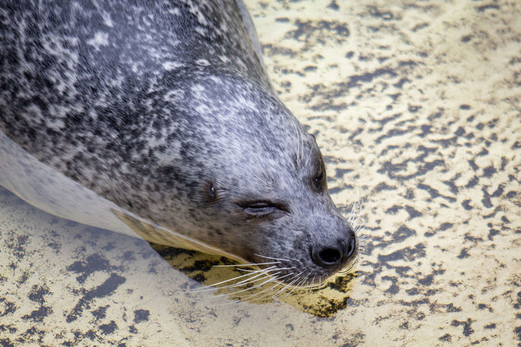 Animal Animal Themes Animal Wildlife No People Animal Head  Day Zoo Zoology Zoo Animals  Zoophotography Seal Seal - Animal Seals Sealion  Water Waterfront Swimming Swimming Animal Swim One Animal Mammal Close-up Animal Body Part Focus On Foreground High Angle View
