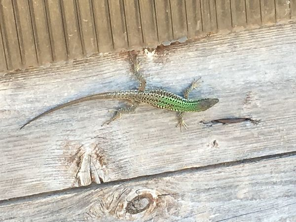 Reptile Wood - Material Lizard One Animal Animal Themes High Angle View Day Outdoors Animals In The Wild Animal Wildlife No People Close-up Nature Iguana