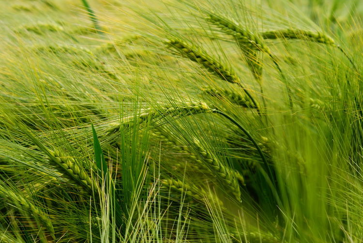Close-up of barley growing on field