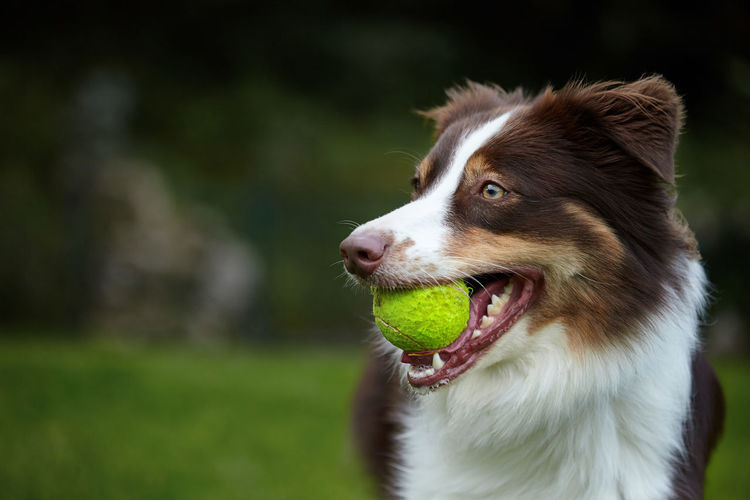 Australian Shepherd  One Animal Canine Dog Animal Themes Mammal Pets Domestic Domestic Animals Animal Focus On Foreground No People Looking Close-up Looking Away Ball Day Animal Body Part Vertebrate Border Collie Mouth Mouth Open Animal Head  Outdoors Panting Purebred Dog