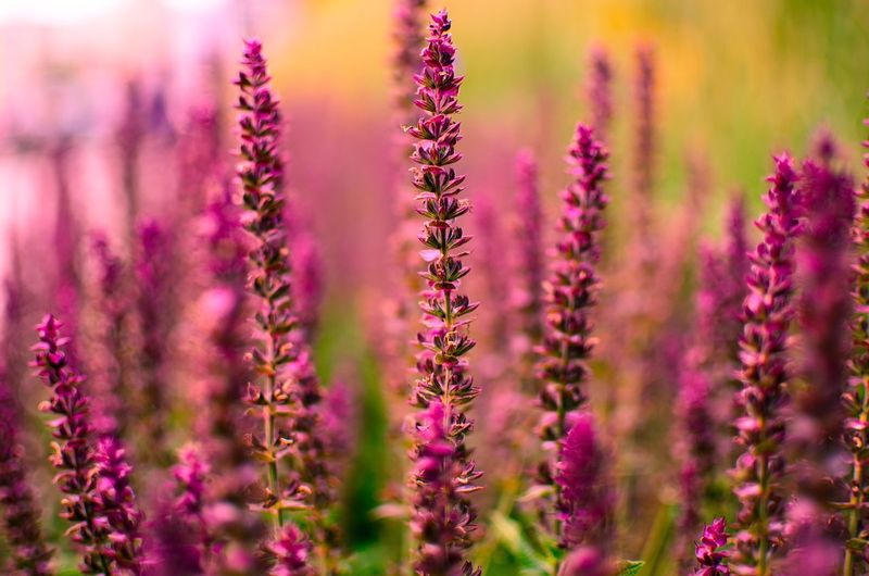 Flower Growth Plant Purple Nature Fragility Beauty In Nature Lavender Selective Focus Scented Blossom Freshness No People Outdoors Day Close-up Herbal Medicine Blooming Perfume Flower Head