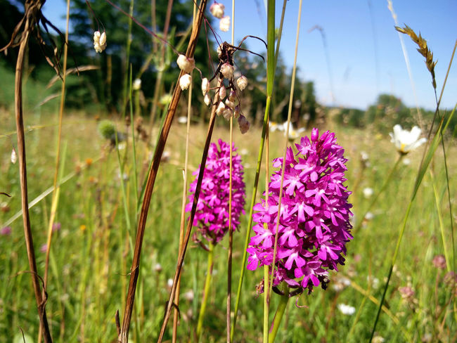 Beauty In Nature Close-up Field Flower Flower Head Flowering Plant Focus On Foreground Freshness Growth Knabenkraut Marsh Orchid Nature Plant Purple Sunlight