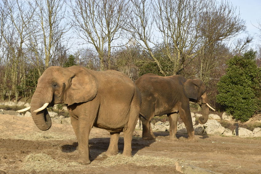 African Elephant Animal Themes Animal Wildlife Animals In The Wild Colchester Colchester Zoo Day Elephant Nature No People Outdoors Togetherness Tree Zoo