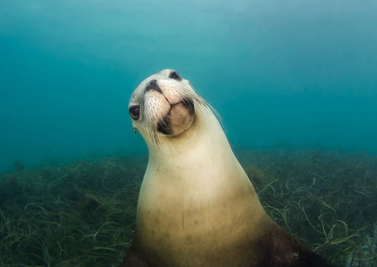 Close-up of sea lion swimming undersea
