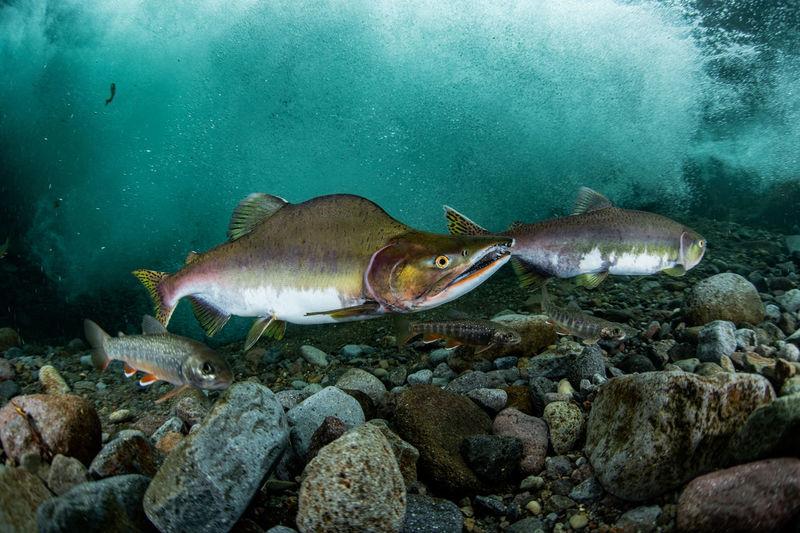 Pink salmon run