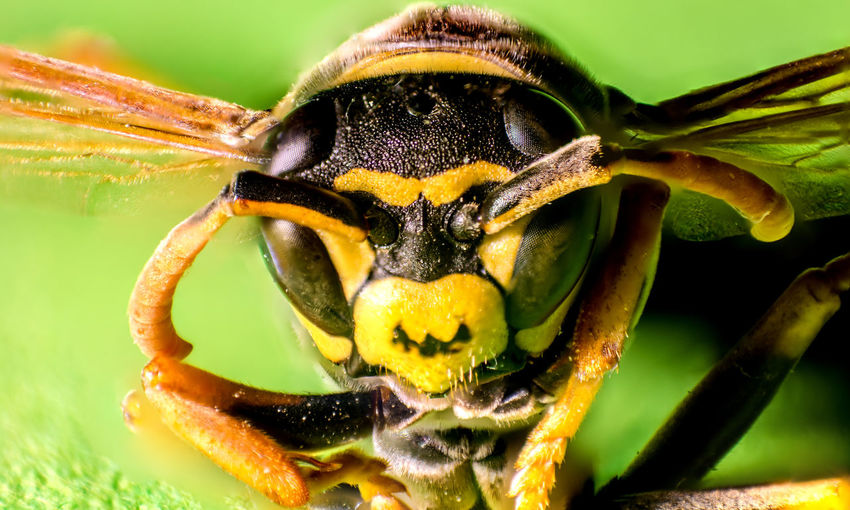 Animal Eye Animal Themes Animal Wildlife Animals In The Wild Beauty In Nature Close-up Day Insect Macro Macro Photography Makro Makro Photography Nature No People One Animal Outdoors Wasp Yellow