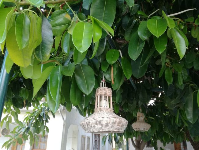 No People Outdoors Architecture Tree Leaf Day Nature Turkey♥ Turkish Riviera Plants Plants And Flowers Outdoor Photography Outdoor Living Nature Garden Garden Lighting Garden Decor Rubber Tree Plant