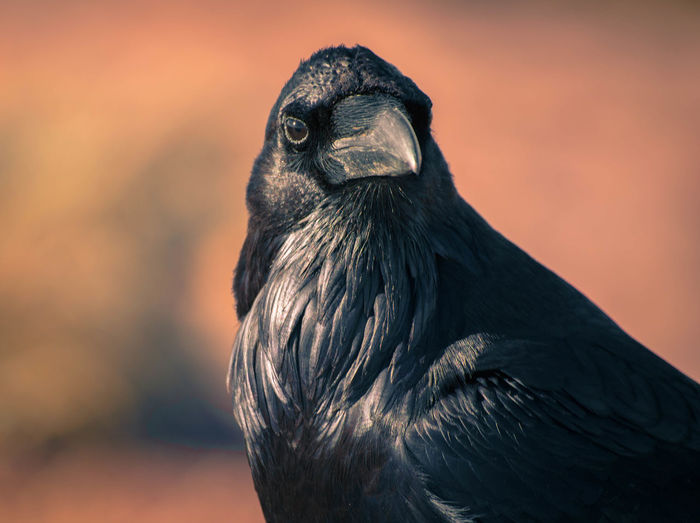 Close-up of crow