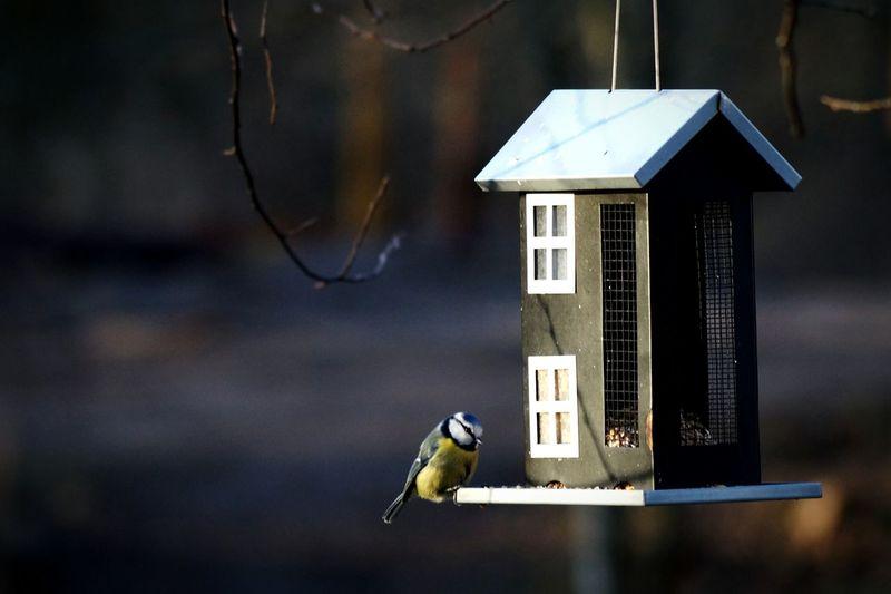 Close-up of bluetit on bird feeder