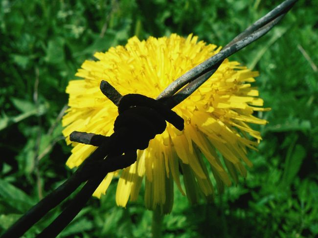 Simple beauty Dandelions Barbed Wire Simplicity Country Life Snapshots Of Life Natural Beauty Inspirations Everywhere.