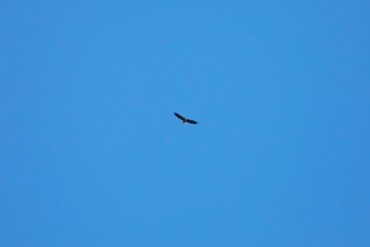 Animal Themes Animals In The Wild Bird Bird Of Prey Blue Blue Sky Clear Sky Clear Sky Copy Space Day Eagle Eagle - Bird Flying High Above Low Angle View Nature No People Norway Outdoors Sea Eagle Sky Spread Wings Vesterålen Watching At You White Tailed Eagle The Great Outdoors - 2017 EyeEm Awards