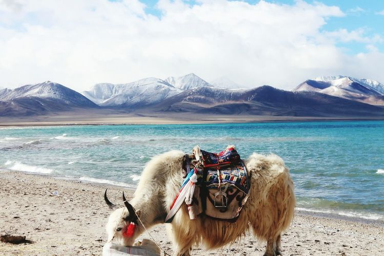 Yak standing on lakeshore against sky at ladakh region
