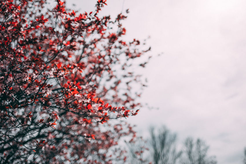 Kirschblütenfest Asian  Asian Culture Cherry Blossoms Beauty In Nature Branch Change Cherry Blossom Cherry Tree Cherryblossom Day Focus On Foreground Freshness Growth Low Angle View Nature No People Orange Color Outdoors Plant Red Rowanberry Selective Focus Sky Tranquility Tree