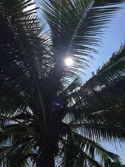 Palm Tree Tree Tropical Climate Plant Growth Low Angle View Palm Leaf Sky Beauty In Nature No People Leaf Nature Tree Trunk Trunk Day Tranquility Sunlight Green Color Outdoors Sun Thailand