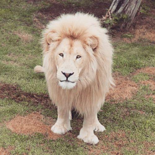 WhiteLion Kingofforest Limited White Likeme