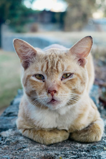 Close-up portrait of tabby cat outdoors
