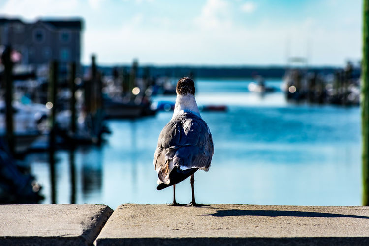 The back of a seagull looking off in the distance next to a canal on the bay in wildwood new jersey