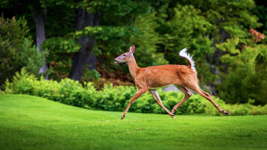 Side view full length of deer running on field