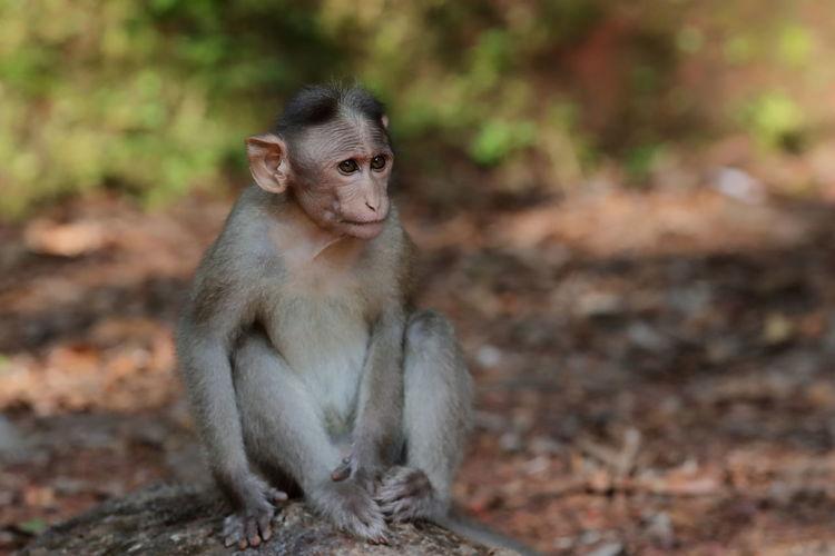 A bonnet macaque monkey
