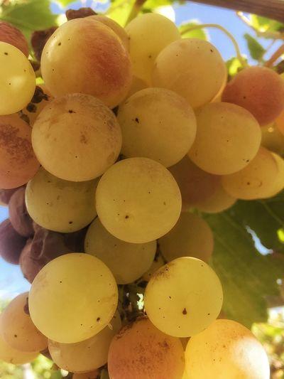 Grape Vine Harvest Fruit Vintage Village Sun