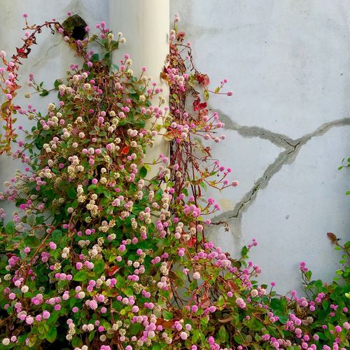 Persicaria Capitata Flower Flowering Plant Plant Growth Beauty In Nature Freshness Vulnerability  Fragility Nature No People Day Close-up Petal Outdoors Wall - Building Feature Architecture Botany Springtime Built Structure