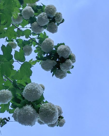 Snowball Tree Tree Growth Nature Sky Blue Leaf No People Branch Beauty In Nature Green Color Clear Sky Summer Freshness Day Blooming Garden Photography Low Angle View White Flowers Spherical Flowers Boquet Of Flowers Clear Blue Sky Background