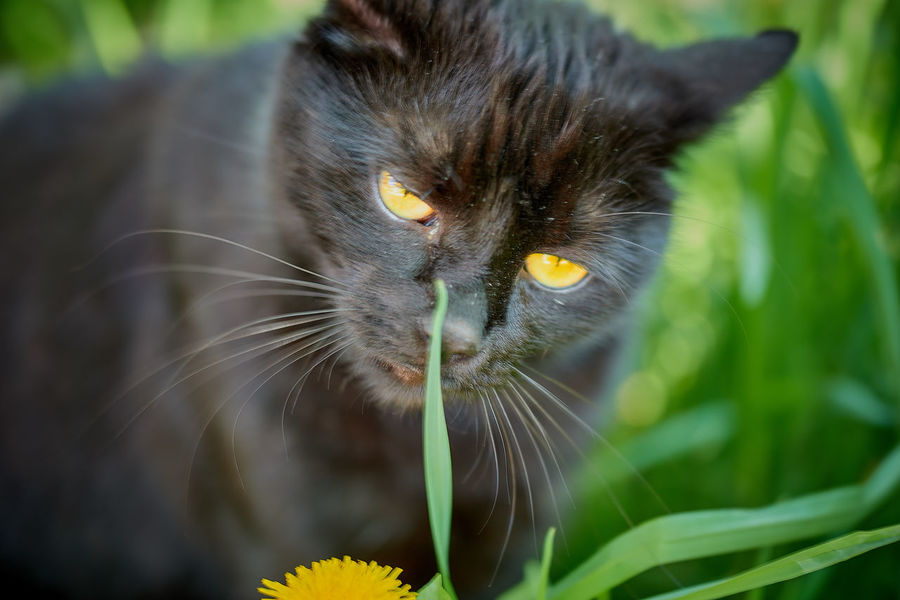 Animal Themes Cat♡ Close-up Day Domestic Animals Domestic Cat Feline Flower Focus On Foreground His Name Ist Morle Mammal Medow Green Nature No People One Animal Outdoors Pets Whisker Yellow Eye Yellow Eyes