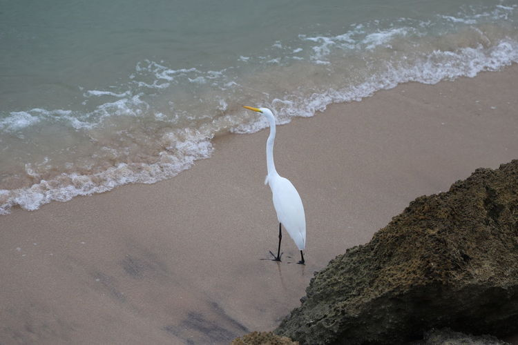 Great egret standing on the shoreline