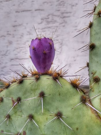 Cactus Nature Purple Flower Close-up Plant Green Color Thorn No People Beauty In Nature Prickly Pear Cactus EymEm New On Market Gardening Galaxys8 EyeEm Best Shots - Nature Backgrounds EyeEm Gallery Opuntia Cactus Opuntia Ficus Indica Garden Photography Fragility Uncultivated Growth Thistle Day