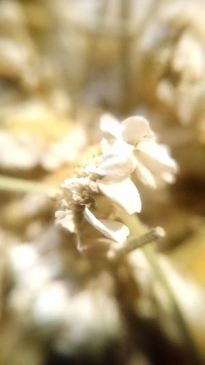 Nature Beauty In Nature Macro Plant Fragility Bloom Dry Flower  Camomille