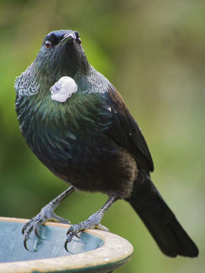 The tui, one of New Zealand's iconic birds Animal Themes Animal Bird Vertebrate One Animal Animal Wildlife Perching Focus On Foreground Day Close-up No People Zoology Nature Beak Looking Outdoors Tree New Zealand Bird