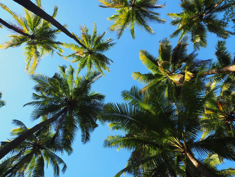 Beauty In Nature Blue Clear Sky Coconut Palm Tree Day Green Green Color Growth Leaf Low Angle View Nature No People Outdoors Palm Leaf Palm Tree Plant Plant Part Sky Sunlight Tranquility Tree Tropical Climate