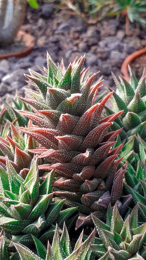 Derset Plant