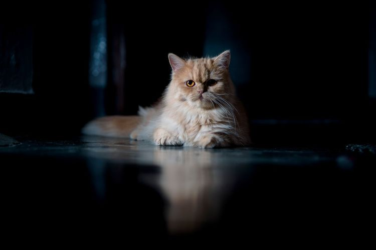 straight face EyeEm Gallery EyeEm Selects EyeEmNewHere EyeEm Best Shots Low Light Photography Low Light Fun Cat Eyes Pets Portrait Kitten Feline Domestic Cat Looking At Camera Persian Cat  Sitting Cute Whisker