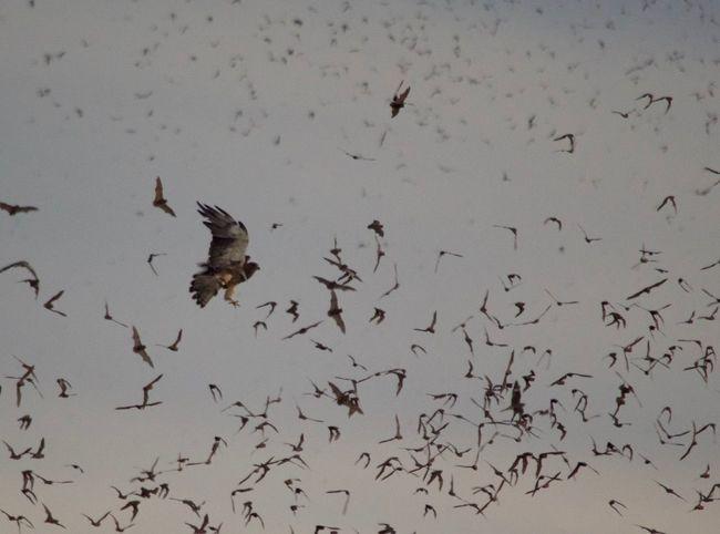 Animal Wildlife Animals In The Wild Bat Cave Bats Bats Leaving Bat Cave Bird Bird Of Prey Flying Hawk Feeding No People Outdoors Spread Wings Swainson's Hawk