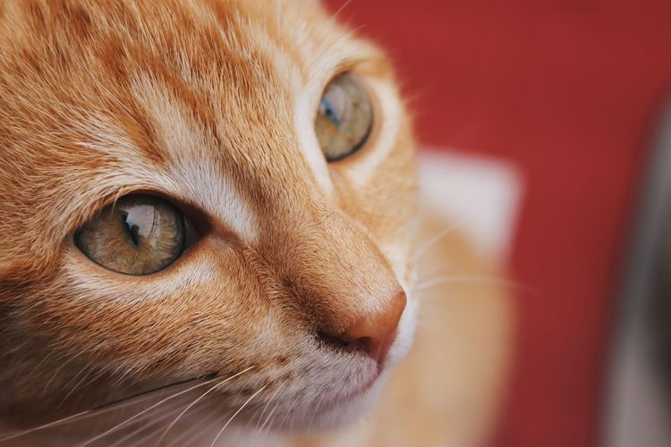 Canela Green Color Animal Animal Body Part Animal Themes Canon Canon1100d Canonphotography Cat Close-up Domestic Domestic Animals Domestic Cat Eye Feline Ginger Cat Looking Looking Away Mammal One Animal Pets Photography Profile View Tabby Vertebrate Whisker