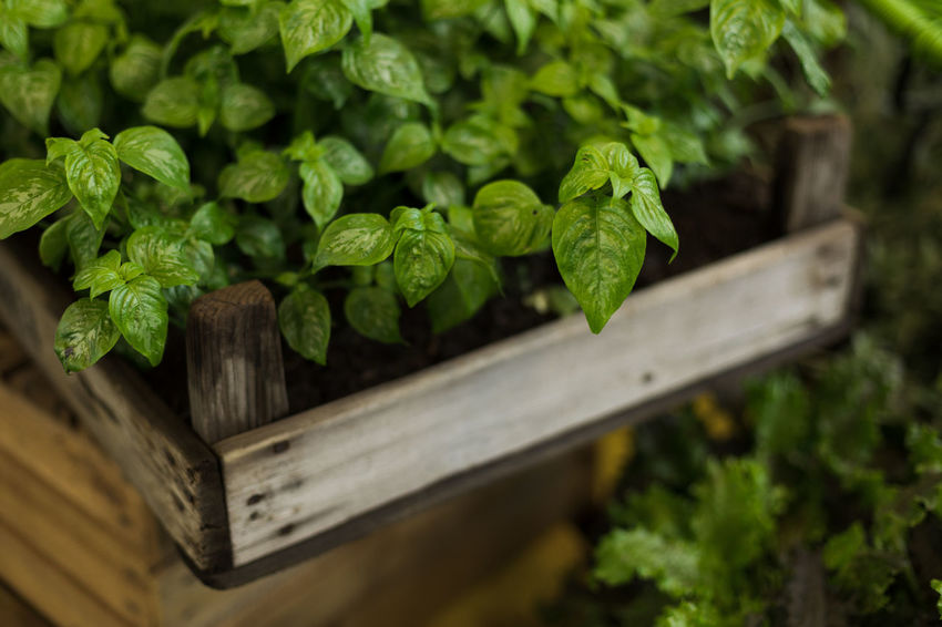basil Cooking Gardening Herb Agriculture Beauty In Nature Close-up Day Food Food And Drink Freshness Garden Green Color Growth Healthy Eating Herb Leaf Nature No People Outdoors Plant Plant Part Selective Focus Vegetable Wellbeing Wood - Material