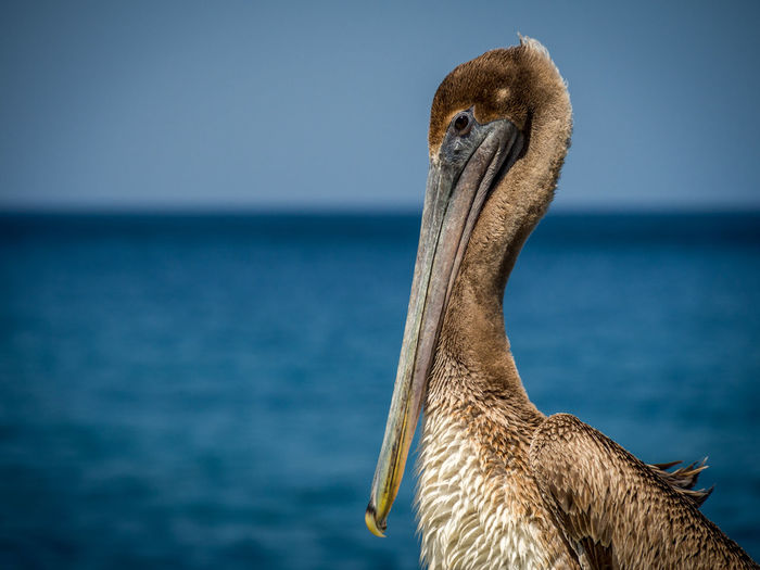 Close-up of pelican by sea