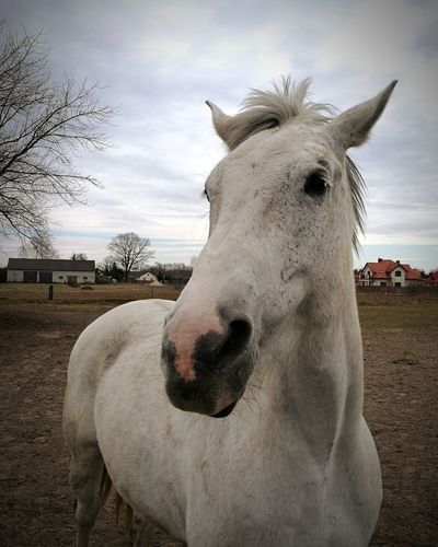 One Animal Animal Themes Domestic Animals Horse Portrait Hoofed Mammal Horse Photography  Horses White Horse White Horse Portrait