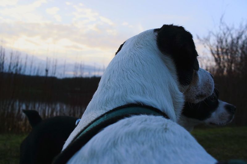 happy dogs - happy day Dogslife Evening Light Sundown Germany Heilbronner Land Nature Outdoors Animal Themes Dog Photography Dog Portrait Happy Dog Dogs Of EyeEm Happiness ♡ Beauty In Nature Love My Dogs Parsonrussell Boston Terrier