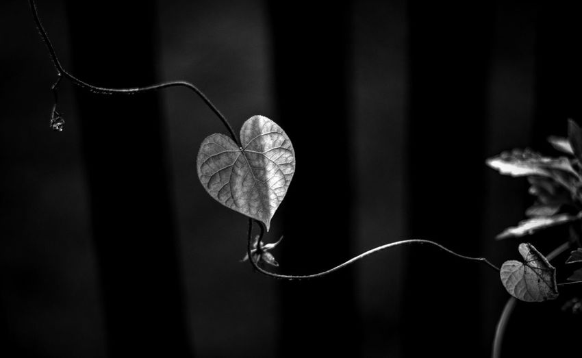 Black and white vine Beauty In Nature Black And White Photography Close-up Deep Shadows Flower Flower Head Flowering Plant Garden Glow Heart Shape Leaf Nature Outdoors Petal Plant Plant Part Plant Stem Vine - Plant