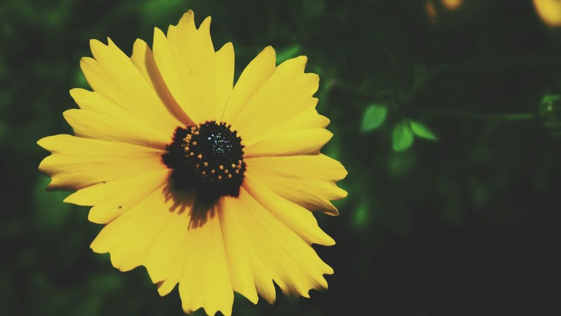 Flower Petal Yellow Fragility Flower Head Nature Freshness Beauty In Nature Plant Outdoors Growth No People Day Black-eyed Susan Close-up