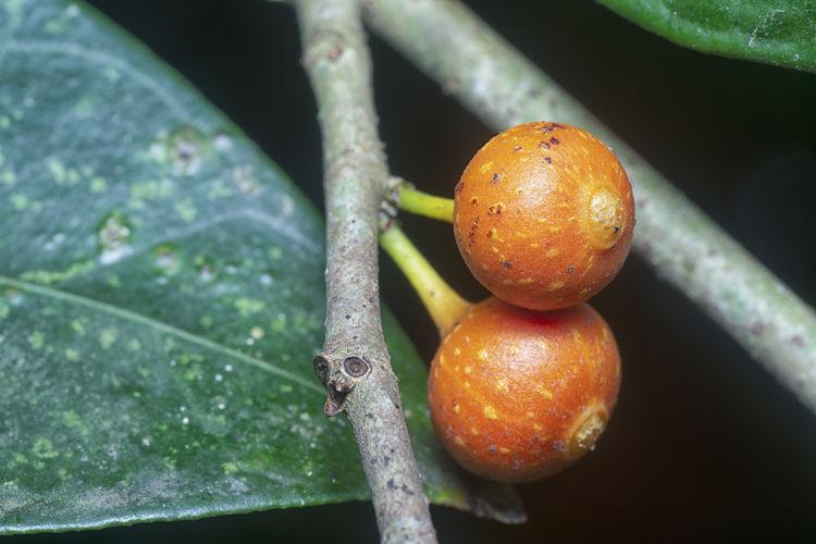Close-up of oranges on tree