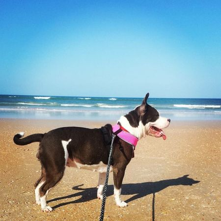 Beach day. Sea Dog One Animal Pets Animal Themes Florida Pitbull Ocean Horizon Over Water Beach Water Mammal Pet Clothing Clear Sky Outdoors Nature Full Length Sky Standing Boston Terrier Day Beauty In Nature