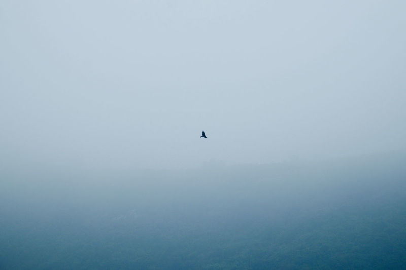 Animals In The Wild Beauty In Nature Bird Flying Fog Low Angle View Majestic Mid-air Nature No People One Animal Outdoors Silhouette Sky Tranquil Scene Tranquility Eagle Hawk Flight Bird Of Prey Wildlife